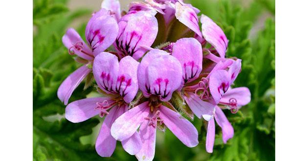 Pelargonium roseum 021119-630