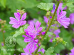 common mallow-Malva Sylvestris-eyecatch
