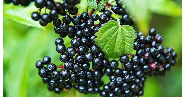 elderberry-630