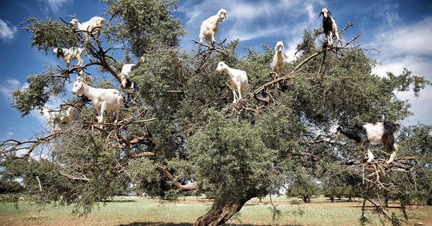 goats on argan tree-630