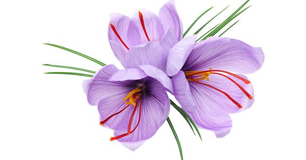 saffron crocus-630