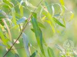 Eucalyptus radiata032219-eyecatch