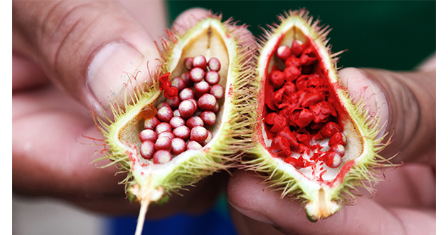annatto seeds pod cracked open-630