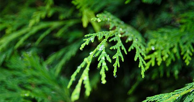 cypress-Cupressus sempervirens-630
