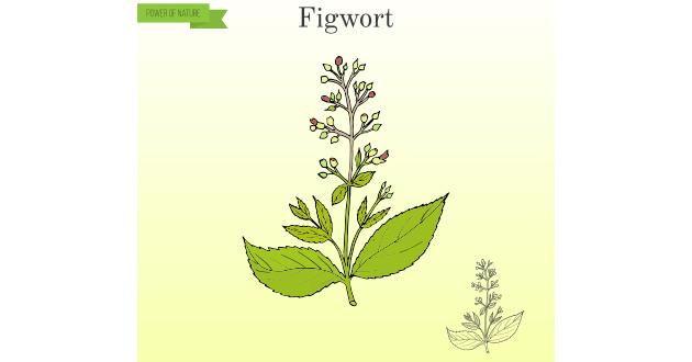 フィグワート(figwort)というハーブをご存知ですか?