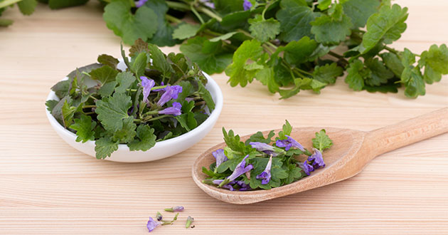 fresh ground ivy-630