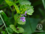 ground ivy-eyecatch