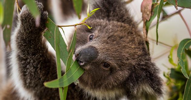 koala eating eucalyptus leaves-630