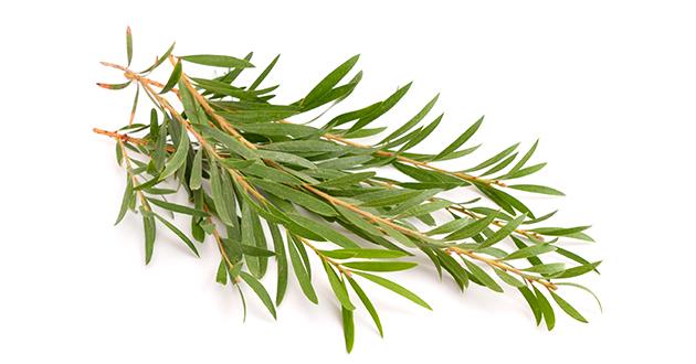 tea tree twigs-630