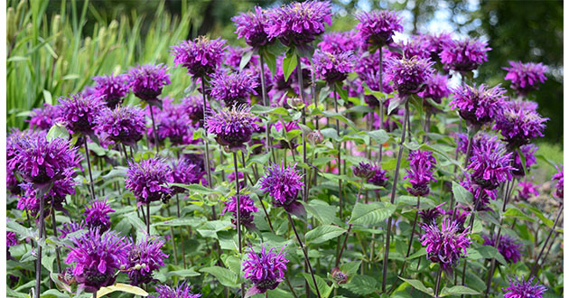 monarda didyma purple heads-630