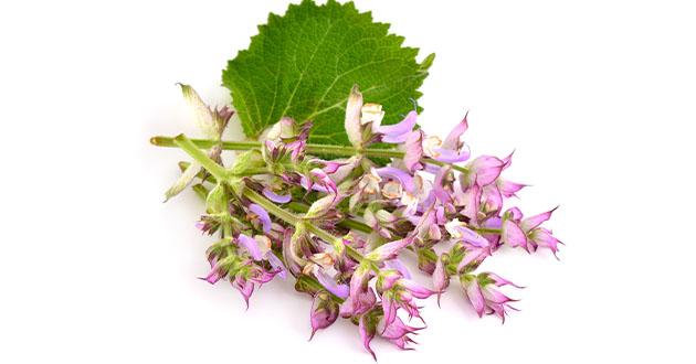 Salvia sclarea-clary sage-630