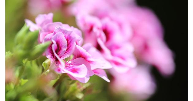 rose geranium-630