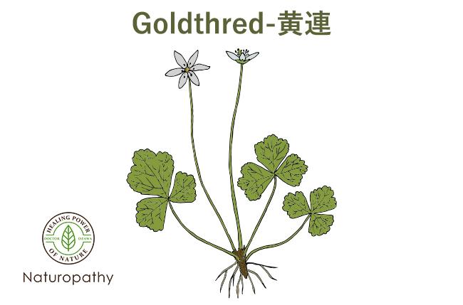 goldthred 黄連-white-eyecatch
