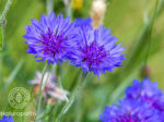 cornflower-eyecatch