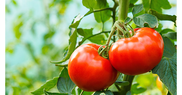 トマトの栄養 リコピン