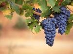 grapes M