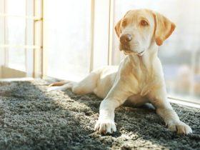 dog on carpet m
