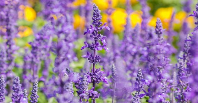 クラリセージは、カルダモン、樹木系の精油とブレンドすると、ややオリエンタルを思わせる香りに