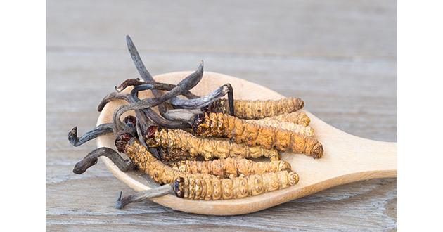冬虫夏草は、養強壮や不老長寿の生薬