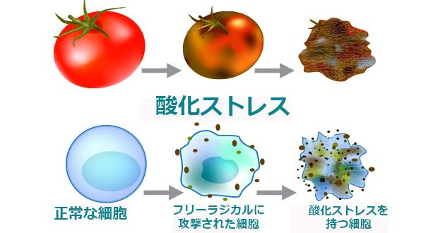 コエンザイムQ10 は、水溶性、脂溶性と両方の性質を持つ抗酸化物質として働く