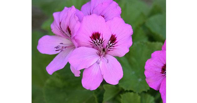 19世紀初頭に、グラースで栽培が始まった