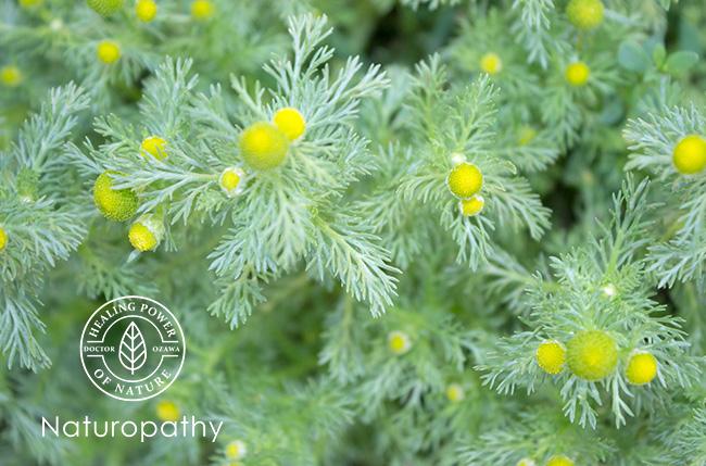 【パイナップルウィード】~パイナップルのような香りのする小さな花には、鎮静効果や美肌効果が~