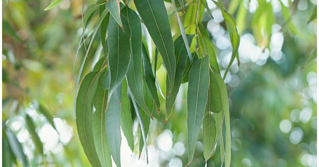 コアラの木で有名なユーカリ