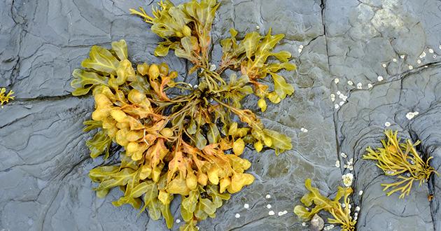 ブラダーは膨らんだ袋、ラックは海藻