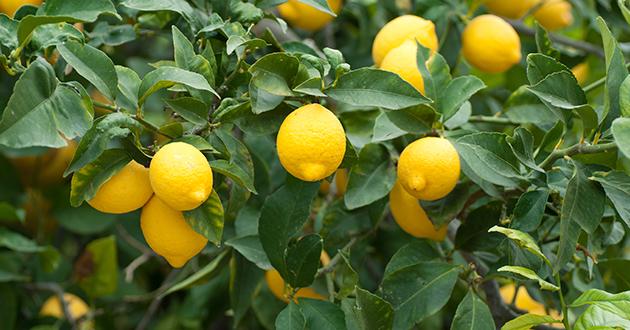 レモンの精油には空気中の菌を殺す、殺菌作用がある