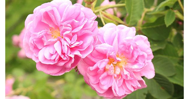優しい気品溢れるローズの香りは、「愛の象徴」と言われた