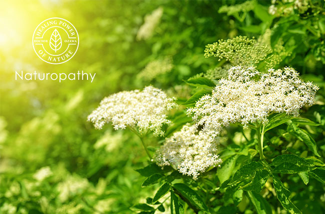 【エルダー(セイヨウニワトコ)】先史の時代から人々の役に立ってきたハーブ。可愛らしい花や実に秘めた効能とは?