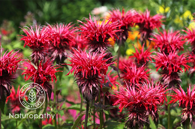 強い殺菌作用を持つ【ビーバーム】~甘く華やかな花を咲かすミントファミリーのハーブ~