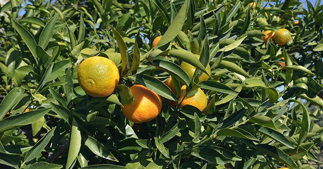 プチグレンは、ビターオレンジから取れる3種の精油のうちの一つ