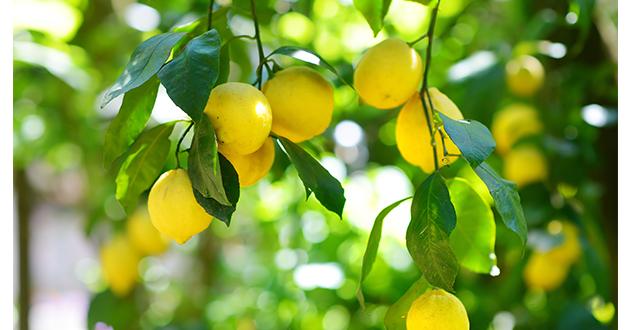 レモンは高さ6mほどに成長する常緑高木