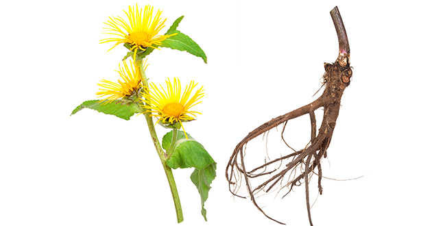 elecampane flower and root-630
