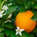 【精油:スィートオレンジ】~甘酸っぱい爽やかな香りが気分を上げてくれる~
