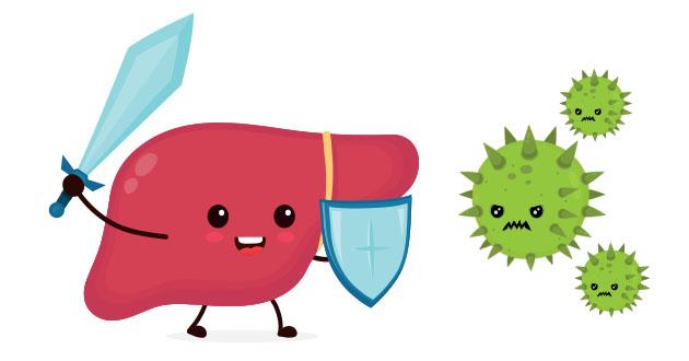 ウチワサボテンは肝臓を守る