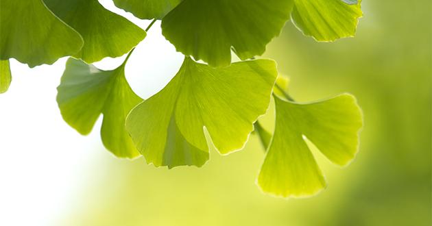 イチョウ葉はアルツハイマー予防に効果的