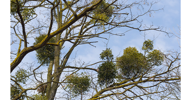 ヤドリギは他の木に寄生する