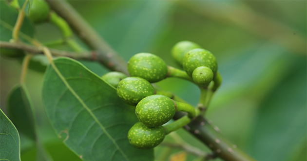 リツエアクベバ精油は虫よけに効果的