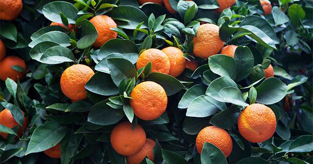 プチグレンービターオレンジ
