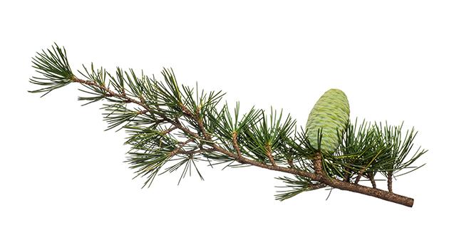 cedar-Cedrus deodara-630甘く落ち着いた香りのシダーウッド
