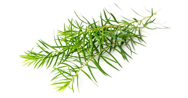 Melaleuca alternifolia 080421