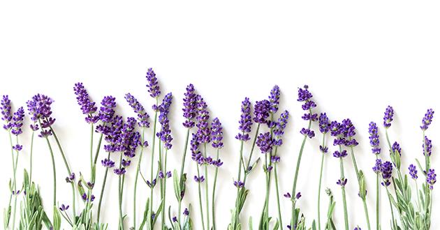 lavender flower 080421